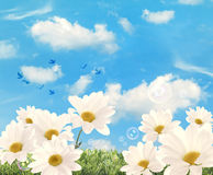 Summer Daisies Royalty Free Stock Photo