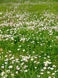 Daisies and grass background Stock Images