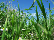 Daisies, grass and blue sky Royalty Free Stock Images