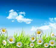 Daisies and grass with bright blue sky Royalty Free Stock Photos