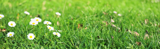 Daisies in grass field - panoramic. A bunch of daisies in a grass field, wide format Stock Images