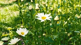 Daisies in the grass of a field in sunny day.  stock footage