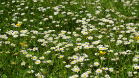 Daisies in the grass. Flowers in the summer. Royalty Free Stock Images