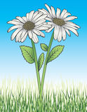 Daisies In Grass. Illustration of two white daisies with stems, leaves, green grass and blue sky background Royalty Free Stock Photos