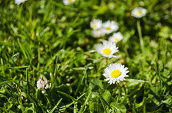 Daisies in Grass. Macro shot of Daisies in Green grass Stock Photo