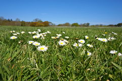 Daisies on grass and blue sky. Daisies on park with blue skies as a background Royalty Free Stock Images