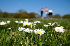 Daisies on grass and blue sky. Daisies on park with moms on background Royalty Free Stock Image