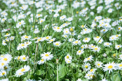 Daisies in the grass. Small and beautiful white flowers are one of the symbols of spring. They can be seen in parks, gardens, meadows, valleys and grassland in Stock Photography