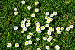 Daisies in the grass. Royalty Free Stock Photo