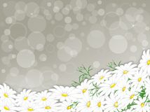 Daisies on a gray background. Stock Photos