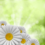 Daisies on green background Stock Photos