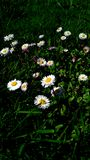 Daisies with green background royalty free stock image