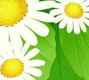 Daisies on a green background. Vector illustration Stock Images
