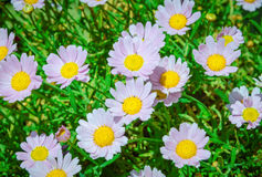 Daisies in the green. A composition of daisies on a sunny day seemingly reflecting the warm glow of the sun Stock Images