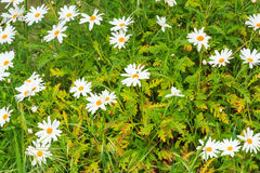 Daisies Royalty Free Stock Images