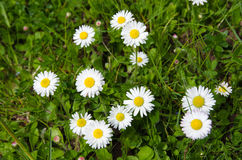 Daisies in green grass Royalty Free Stock Photography
