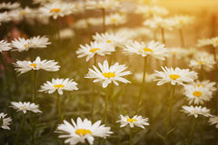Daisies in green leaves in the sunlight Royalty Free Stock Photo