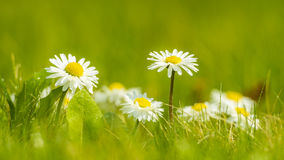 Daisies. In the green meadow Stock Image