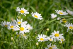 Daisies on a green meadow in the foggy morning Stock Photography