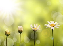 Daisies on green nature background. Stages of growth Stock Photography