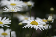 Daisies. Group of Daisies, cultivated, in a garden Royalty Free Stock Photo