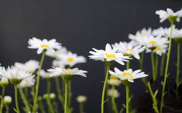 Daisies. Group of simple standing daisies Stock Photo