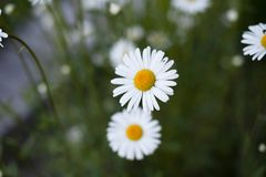 Chamomile on grass background stock photography