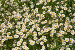 Daisies growing on the field Royalty Free Stock Images