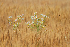 Daisies growing on a Golden field with ripe ears of corn Royalty Free Stock Photos