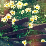 Daisies growing near a wooden fence Stock Photos