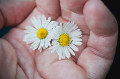 daisies in hand Royalty Free Stock Images