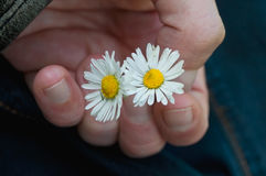 Daisies in hand Royalty Free Stock Photo