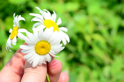 Daisies in hand Stock Photos