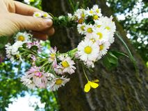 Daisies in the hand on the green grass Royalty Free Stock Image