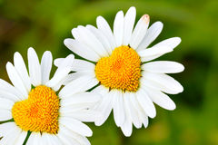 Daisies with heart royalty free stock image