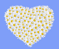 Daisies heart. Isolated on blue background Royalty Free Stock Photography