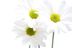 Daisies highkey isolated. Daisies closeup, highkey isolated over white. focus on head of right bloom Royalty Free Stock Image