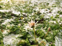 Daisies with ice crystal. Daisies with many ice crystals in a meadow Royalty Free Stock Images