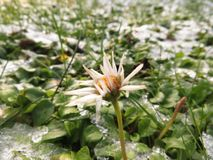 Daisies with ice crystal. Daisies with many ice crystals in a meadow Stock Image