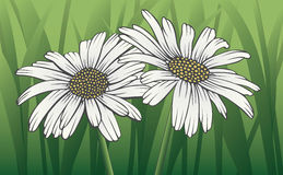 Daisies. Illustration of two white daisies with stems and green grass background Royalty Free Stock Photography