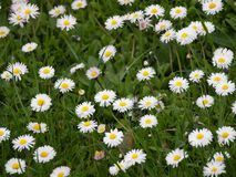 Free Daisies In A Meadow Stock Images - 40759484