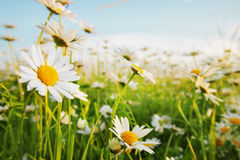 Daisies In A Meadow Stock Photography