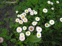 Daisies In The Garden. Royalty Free Stock Photo