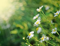 Daisies In The Morning Royalty Free Stock Photos