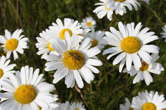 Daisies and insects. Field daisies and insects stock images