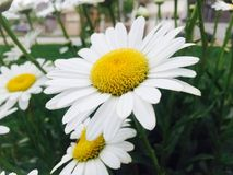 Daisies-iPhone photography Royalty Free Stock Photo