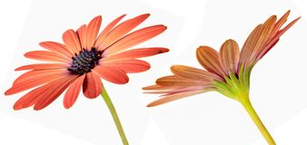 Daisies Isolated 2 Stock Images