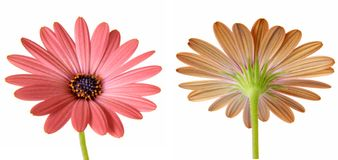 Daisies Isolated 1 Stock Image