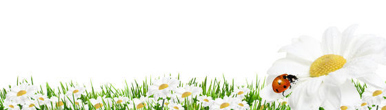 Daisies isolated on white. Daisies with green grass and ladybird isolated on white background royalty free stock photo