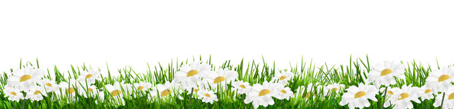 Daisies isolated on white. Daisies with green grass isolateg on white background royalty free stock image